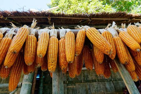Dry corn was dried on the balcony of the villagers. For use as seeds and food or animal feed.