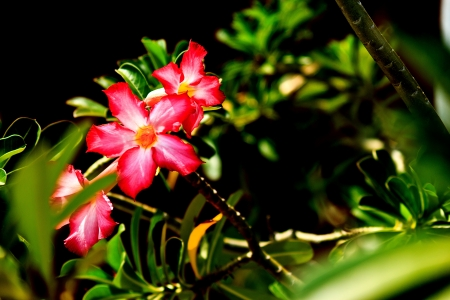 Desert Rose or Impala Lily in the garden