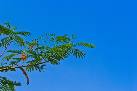 The Delonix regia or The Flame Tree is Leguminosae type from Africa seeding