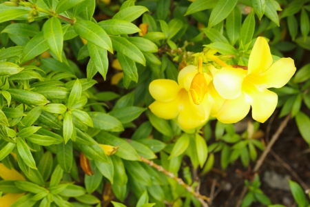 apocynaceae: These are Golden trumpet or Allamanda  They are Apocynaceae and their Scientific name is Allamanda cathartica  Linn  Stock Photo
