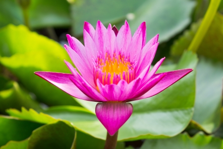 This Pink Lotus is Nelumbo and annual crops  photo