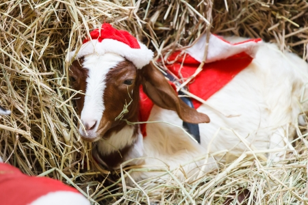White goat in Christmas or Santa Clus suit