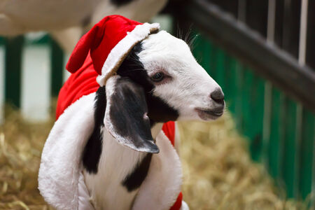 White goat in Christmas or Santa Claus suit look left