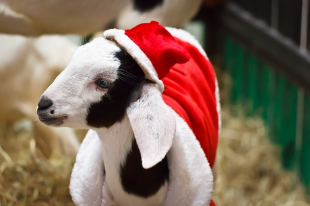 look at right: White goat in Christmas or Santa Claus suit look right
