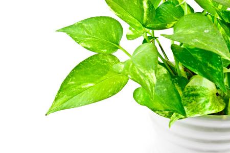 een deel van de Devil's ivy plant op een witte achtergrond