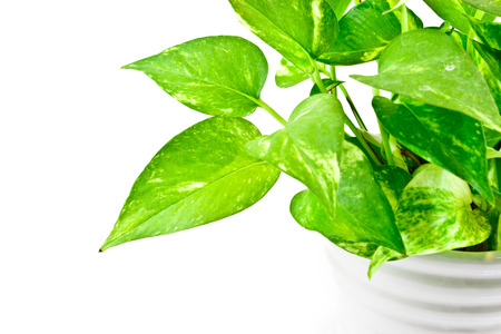 part of Devil  s ivy plant on white background