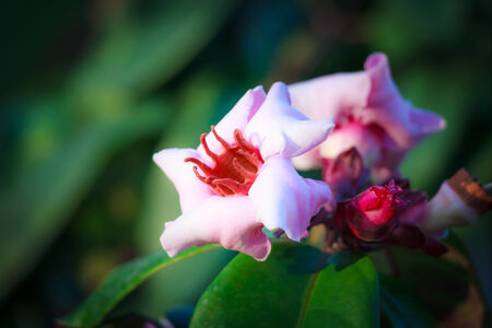 ex: Pink tropical flowers  Strophanthus gratus - Wallich   Hook  ex Benth    Stock Photo