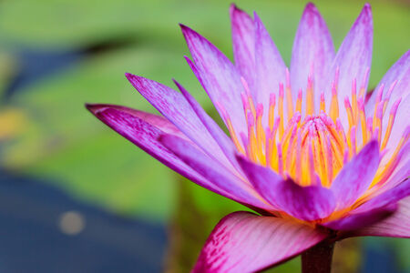 This Pink Lotus is Nelumbo and annual crops