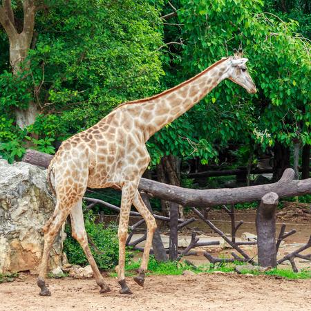 giraffa camelopardalis: Giraffes in the zoo public park, This Scientific Name is Giraffa camelopardalis Stock Photo