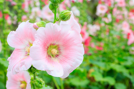 The national flower is the flower Mu Gung Hwa (mugunghwa) or Rose of Sharon. photo