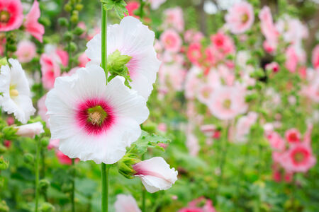 gung: the flower Mu Gung Hwa (mugunghwa) or Rose of Sharon.