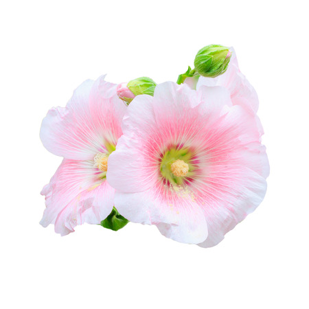 the flower Mu Gung Hwa (mugunghwa) or Rose of Sharon. isolated Stock Photo