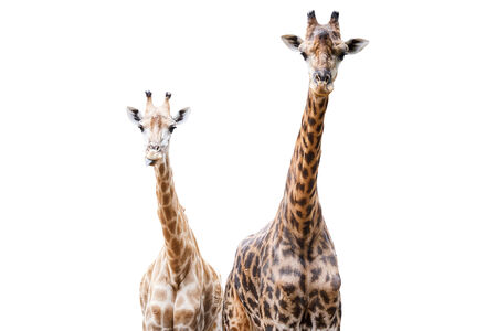 animal head giraffe: Giraffes, This one tongue out portrait. This Scientific Name is Giraffa camelopardalis