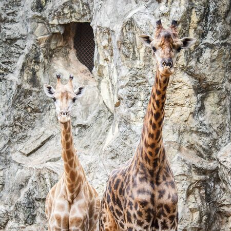 Giraffes, This Scientific Name is Giraffa camelopardalis