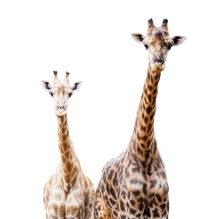 giraffa camelopardalis: Giraffes isolated on white background, This Scientific Name is Giraffa camelopardalis
