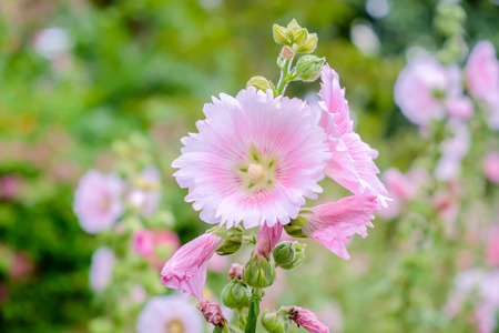gung: The national flower is the flower Mu Gung Hwa (mugunghwa) or Rose of Sharon.