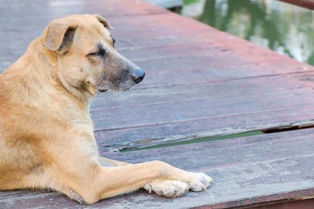 Red brown dog sitting on the bridge.