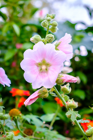 sharon: The national flower is the flower Mu Gung Hwa (mugunghwa) or Rose of Sharon. Soft focus
