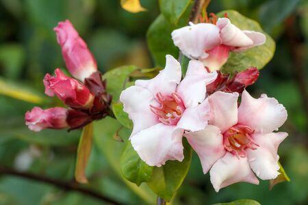 ex: Pink tropical flowers Strophanthus gratus - Wallich  Hook. ex Benth. Stock Photo