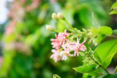 comrades: Rangoon creeper flowers or Quisqualis indica (Scientific name), select focus with shallow depth of field. Stock Photo