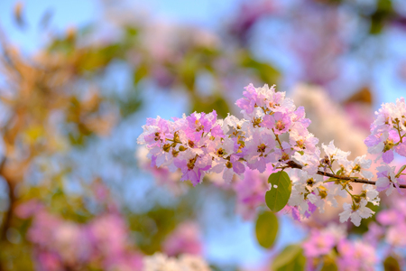 Lagerstroemia speciosa or Bang lang flower of Indian subcontinent Stock Photo
