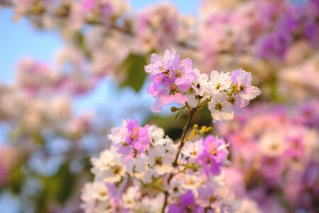 Lagerstroemia speciosa or Bang lang flower of Indian subcontinent Kho ảnh