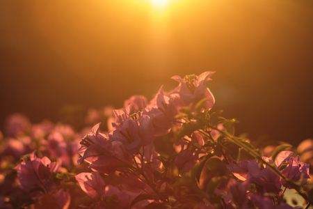 Pink flowers shining at sunset backlit in the park. Bougainvillea. Фото со стока - 125019385