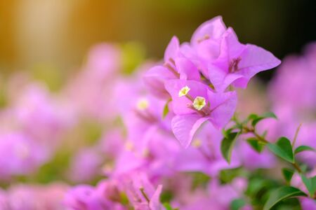 Pink flowers in the park. Bougainvillea