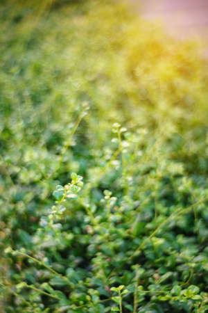 Fresh spring grass in evening. Natural background.