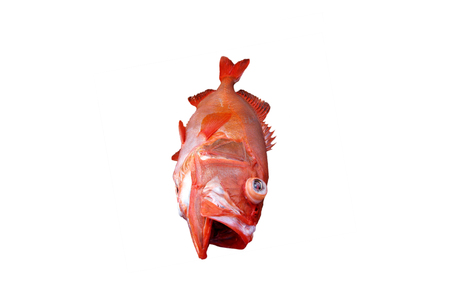 redfish: Red fish, Deep water fish isolated on white background,fish species living in deep sea