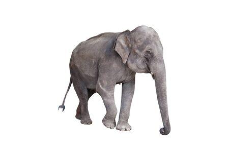 Asian elephant walking isolated on white background