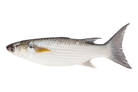 grey mullet: Grey Mullet or flathead mullet fish (Mugil cephalus) isolated on white background.