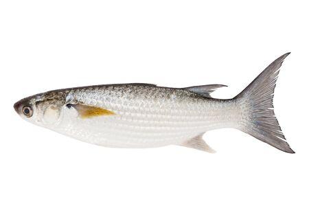 flathead: Grey Mullet or flathead mullet fish (Mugil cephalus) isolated on white background.