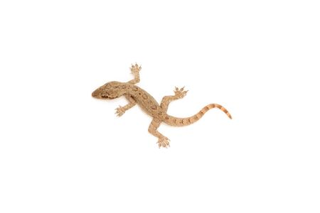 newt: Young lizard isolated on white background Stock Photo