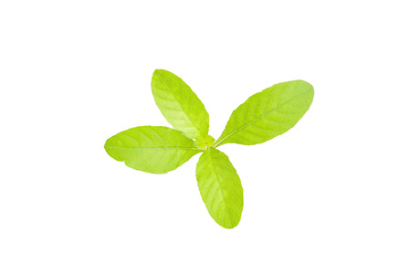 plant tree isolated on white background,  fresh green leaf top view Stock Photo