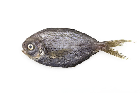oceanic: Black Fish isolated on white background