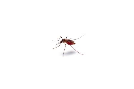 Immagini Stock Macro Di Zanzara Succhia Sangue Isolato Su Sfondo