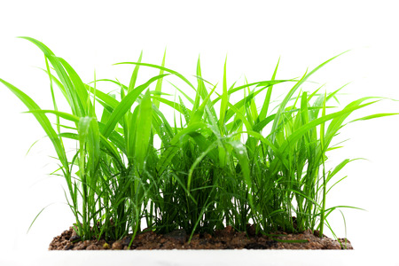 green grass growing out of the ground, isolated on white background 写真素材