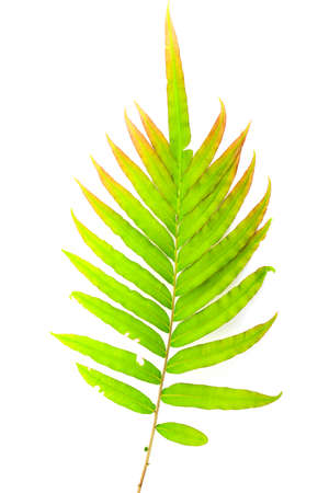 Fresh Fern branch Leaf isolated on white background top view. Standard-Bild - 161800941