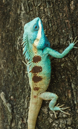 Beautiful Wild lizard  Stock Photo