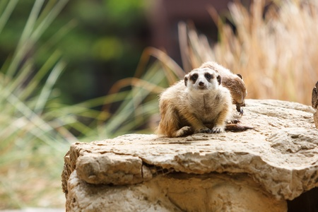 Meerkat sitting on the stone  photo
