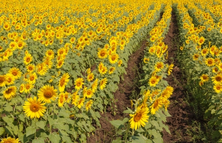 Sun flowers in the countryside photo