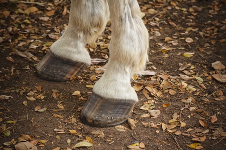 Chestnut horse legs  photo