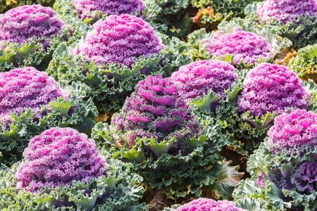 Beautiful ornamental cabbages photo