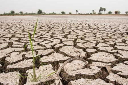 Rice waiting for rain