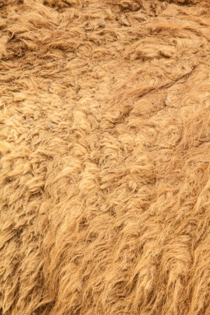 Camel fur close-up photo