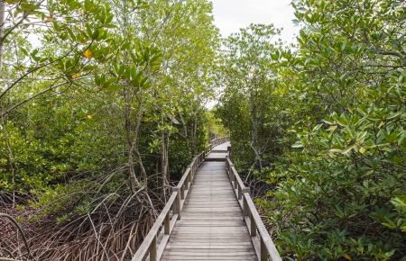 Wood path way amoung the Mangrove forest photo