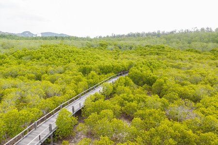 Wooden bridge go to mangrove forest photo