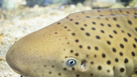 bull shark: Close-up Leopard shark Stock Photo