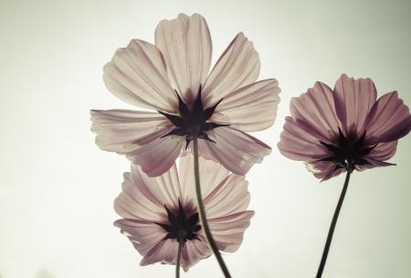 Flores del cosmos de la vendimia Foto de archivo - 24360782